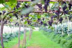 Red grape vine in the yard. Red grapes with green leaves on the vine ,Chiang mai , Thailand Royalty Free Stock Images