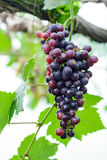 Red grape vine in the yard. Red grapes with green leaves on the vine ,Chiang mai , Thailand Royalty Free Stock Photography