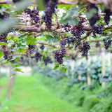 Red grape vine in the yard. Red grapes with green leaves on the vine ,Chiang mai , Thailand Stock Photos