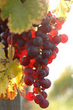 Red grape at vineyard in autumn Stock Photo