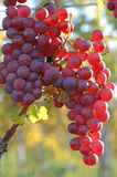 Red grape at vineyard in autumn Stock Images