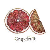 Red Grapefruit illustration background. Red Grapefruit slice illustration watercolo Royalty Free Stock Photography