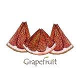 Red Grapefruit illustration. Fruit slice isolated Royalty Free Stock Images