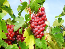 Red grapes. With vine leaves Stock Photo