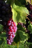 Red grapes. Light up with sun Stock Photo