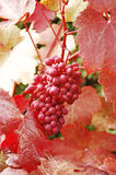 Red grapes. Bunch of red grapes on vine Royalty Free Stock Images