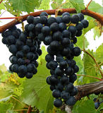 Red Grapes Royalty Free Stock Photo