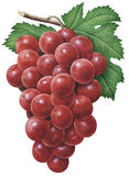 Red Grapes. Detailed illustration of red grapes royalty free illustration