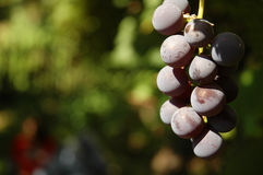 Red Grapes. Hanging on a vine Royalty Free Stock Photos