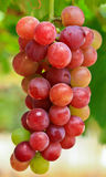 Red grapes. From vineyard near Pattaya, Thailand Stock Image