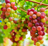 Red grapes. From Pattaya, Thailand Stock Image