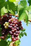 Red grapes. Royalty Free Stock Photography