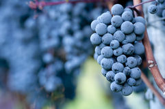 Red grapes Stock Images