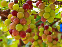 Red grapes. At Silverlake in Pattaya, Thailand Royalty Free Stock Photo