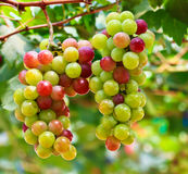Red grapes. At Silverlake in Pattaya, Thailand Stock Photography