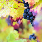 Red grapes Royalty Free Stock Photography