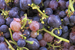 Red grapes background Stock Images
