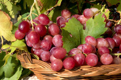 Red grapes in basket Stock Image