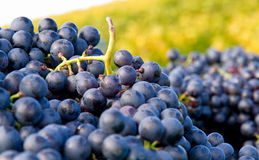 Red grapes in a basket Royalty Free Stock Photo