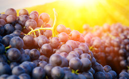 Red grapes in a basket. Harvested, red grapes in a the warm sun Royalty Free Stock Photography