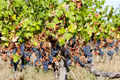 Red grapes in Bordeaux Royalty Free Stock Images