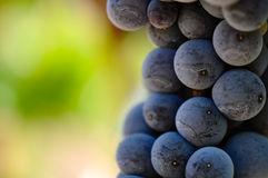 Red Grapes Close Up stock image