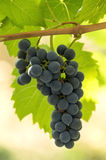Red Grapes cluster Stock Image