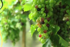 Red grapes in the early summer Royalty Free Stock Photography