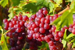 Red grapes in fall Stock Photos