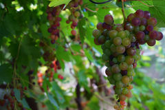 Red grapes fruit. As nice food background Royalty Free Stock Photo