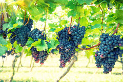 Red grapes fruit with green leaves on the vine. Retro style Stock Photography