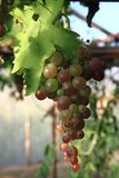 Red grapes fruit. From small czech home farm Stock Photo