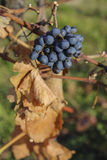 Red Grapes. Red grape stemmed in autumnal sunshine and dead leaves Stock Photography