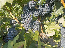 Red grapes on grapevine just before harvesting Stock Images