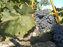 Red grapes on grapevine just before harvesting Royalty Free Stock Photography