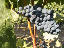 Red grapes on grapevine just before harvesting Royalty Free Stock Images