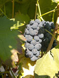 Red grapes on grapevine just before harvesting Royalty Free Stock Photos