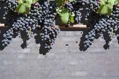 Red grapes on gray washed brick wall Stock Image