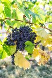 Red grapes green leaves the vine fruit plants. Red grapes with green leaves on the vine. Vine grape fruit plants stock photos