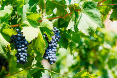 Red grapes with green leaves on the vine. Stock Photos