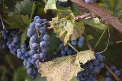 Red grapes with green leaves on the vine Stock Image