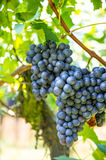 Red grapes with green leaves on the vine. Vine grape fruit plant Royalty Free Stock Photos