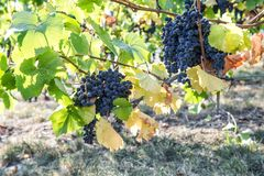 Red grapes green yellow leaves vine Autumn landscape. Red grapes with green yellow leaves on the vine. Autumn landscape royalty free stock photos