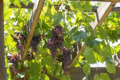 Red grapes grow on a wooden pergola royalty free stock photos