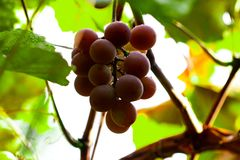 Red grapes hanging from the branch, grapes with water droplets.  stock image