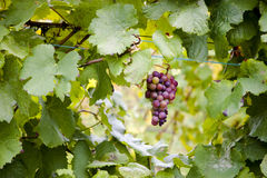 Red Grapes Hanging from Vine Stock Photos