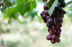 Red grapes harvest in vineyard. Wine red grape harvest in morning Royalty Free Stock Images