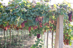 Red grapes harvest in vineyard. Red wine grapes on old vine Royalty Free Stock Photography