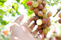 Red grapes harvest in vineyard. Red wine grapes on old vine Stock Images