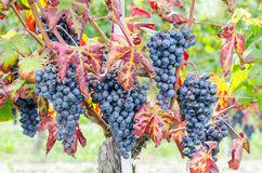 Red grapes and leaves in vineyard landscape Stock Photo
